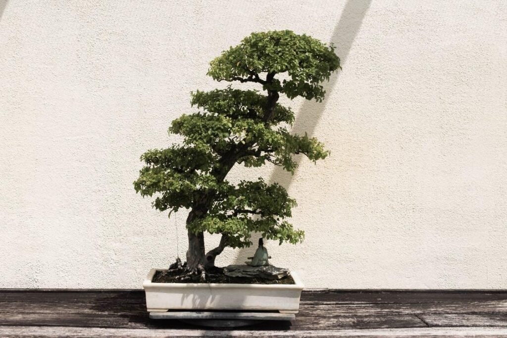 Japanese home décor includes bonsai trees